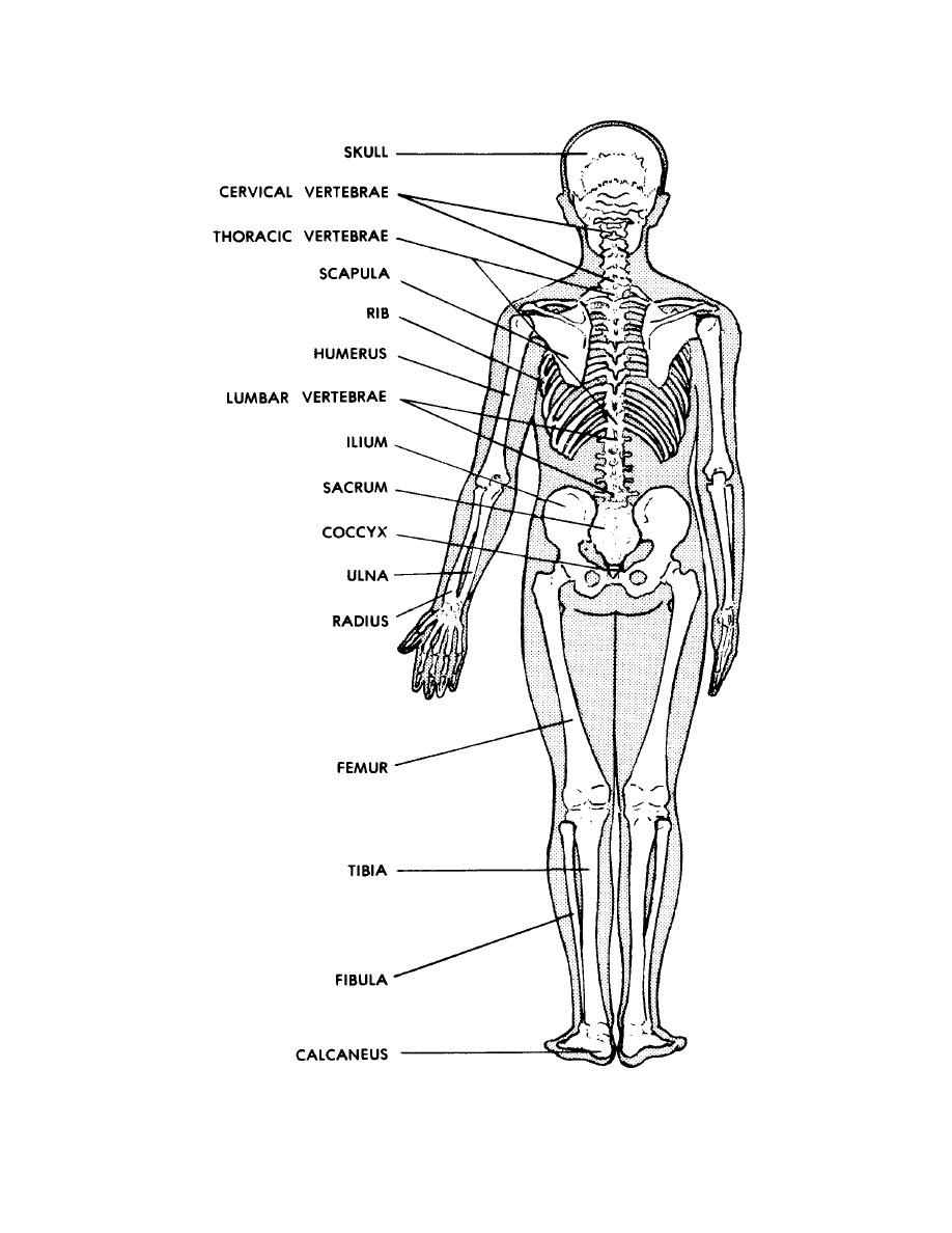 10 Best Images of Posterior Muscle Man Worksheet - Label ...