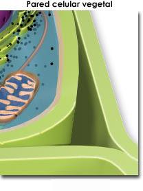 Estructura de la pared celular