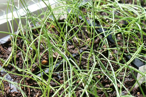onion seedlings 134