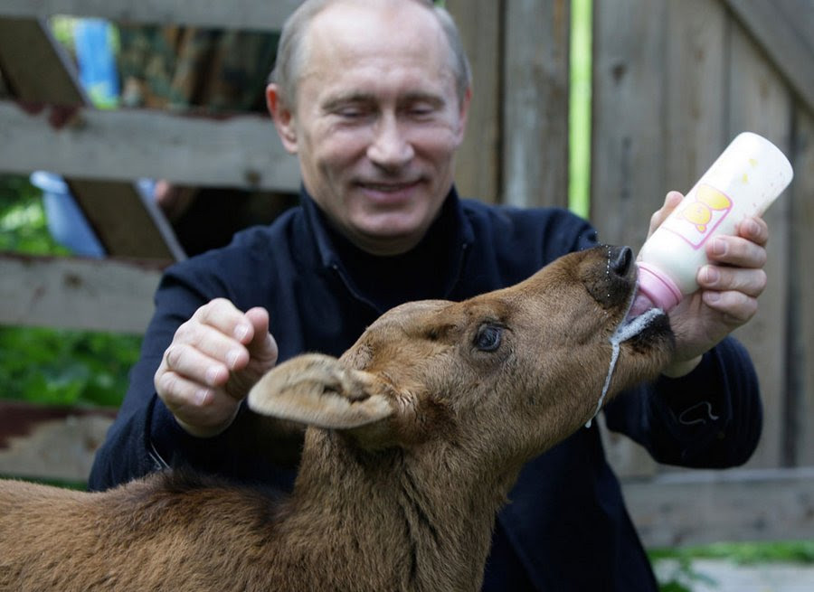 """VV  Putin feeds a calf in the nature reserve """"Elk Island"""" near Moscow, June 5, 2010."""