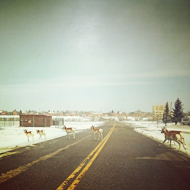 Day100 Antelopes crossing the road on base 4.10.13 #jessie365