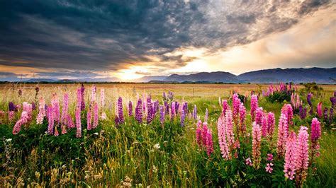 sunset scenery lupine flowers meadow field mountains dark