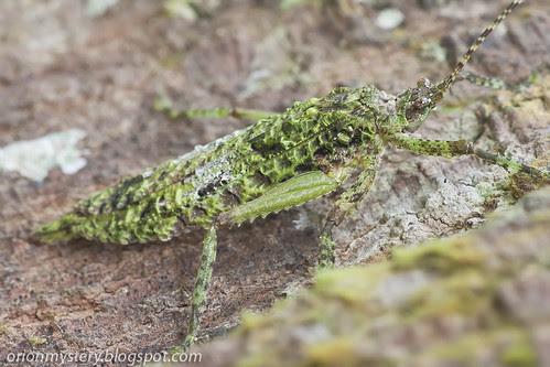 Lichen mimic katydid, <i>Olcinia sp</i>. IMG_6988 copy