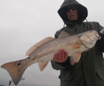 Upper-slot and over-slot red drum are schooling in bays along the New River and ICW in the Sneads Ferry area.