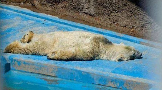 "What You Can Do To Help The ""World's Saddest Animal,"" A Polar Bear Trapped In The Desert"