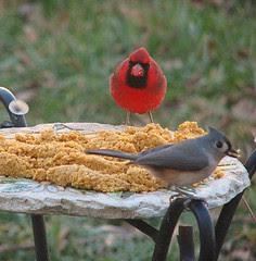 Titmouse and cardinal suet dough