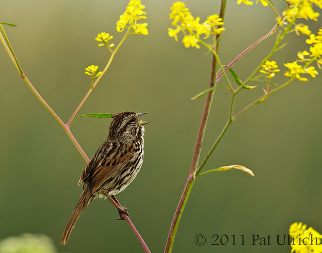 Singing in the other direction - Pat Ulrich Wildlife Photography