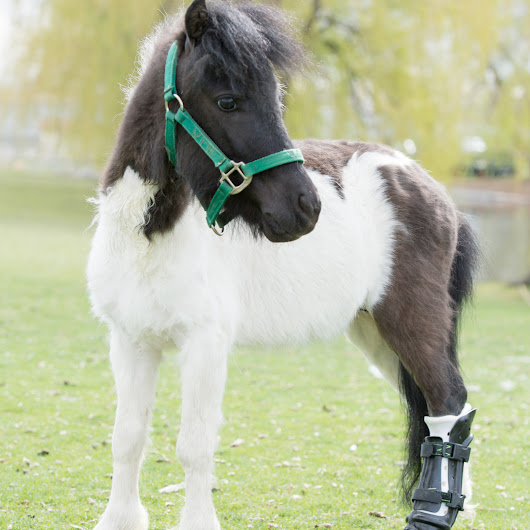Shine on: Miniature horse has spring in his step with special hoof