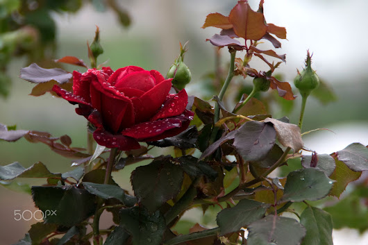Red Rose in a Rainy day