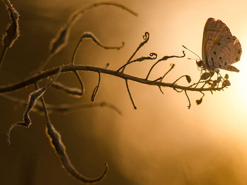 Μακροφωτογραφία πεταλούδας με το ηλιοβασίλεμα στο φόντο.