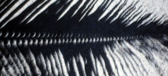 Tiny gaps along the length of this palm frond created a series of solar crescents during the July 1991 eclipse. Credit: Bob King