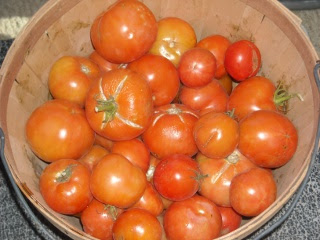 Spring Garden 2010 Fall Tomatoes Ripened in Basket