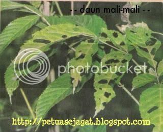 Daun Mali-Mali