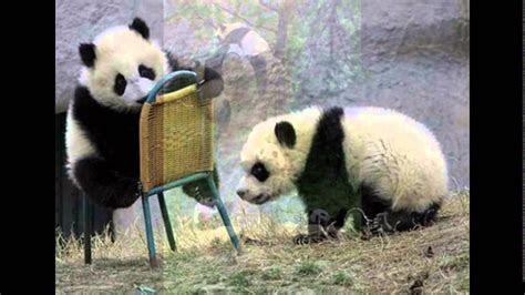 gambar panda  lucu  menggemaskan youtube