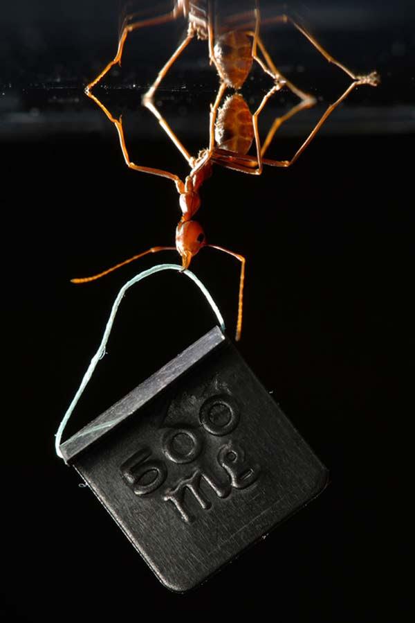 perierga.gr- Το πιο δυνατό μυρμήγκι!