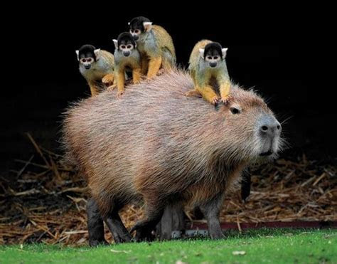 Capybara! South America?s giant guinea pig.   ellipsisastra