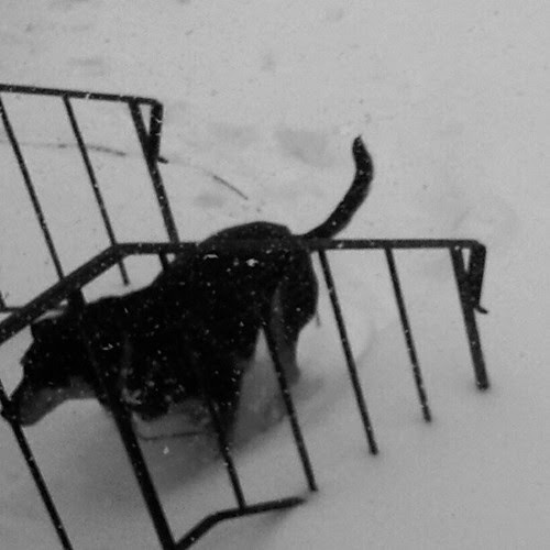 Tut running back inside! We're snowed in... #dogstagram #Nemo #Blizzard2013 #snowdog #hound #adoptdontshop #rescue #dogs