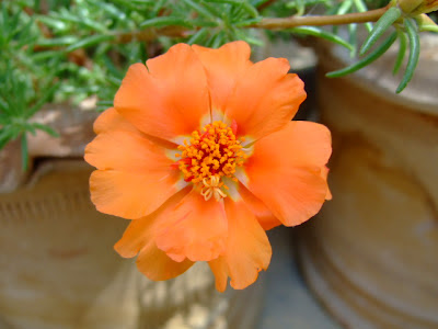 Orang moss rose picture