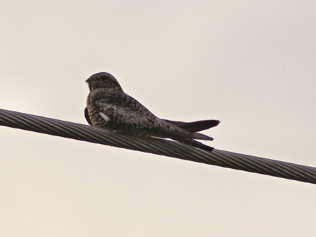 Common Nighthawk 20130418