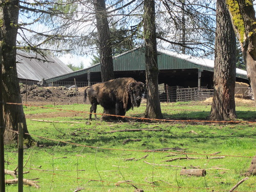 Bison - just north of Timber