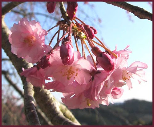 10 sakura walk END