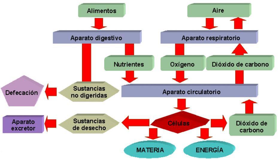 http://almez.pntic.mec.es/~jrem0000/dpbg/3eso/tema5/esq-nutric.jpg