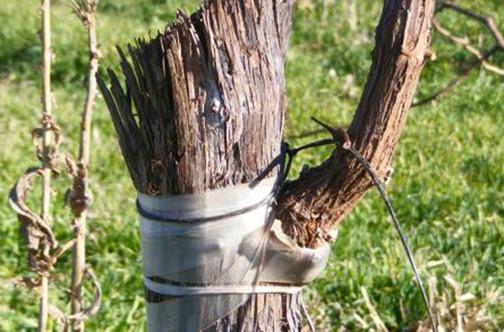 [Photo of a grape stem with a graft]