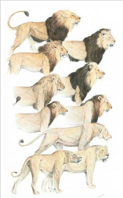 lion mane chart_thumb[12]