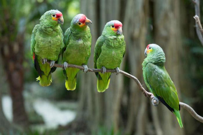 амазонский попугай цена