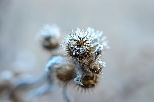frosty thistle_134