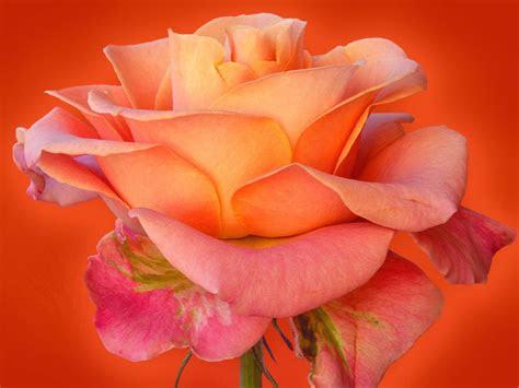 rose flower wallpaper rose wallpapers