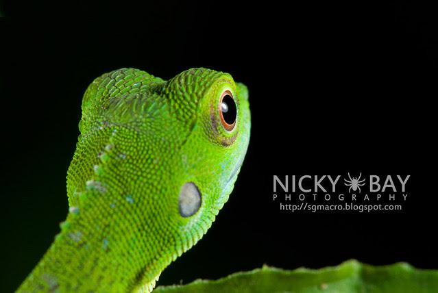 Green Crested Lizard (Bronchocela cristatella) - DSC_9373
