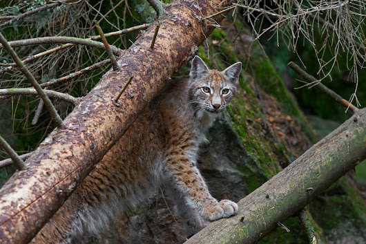 The last British lynx was killed 1,300 years ago. Now the wild cat may be poised for a comeback.