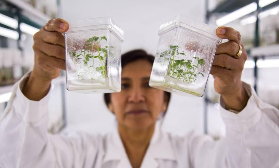 Un responsable del banco de germoplasma, Ana Panta, muestra un par de envases con la variedad de patata compis.