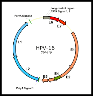 English: Genomic structure of Human papillomav...