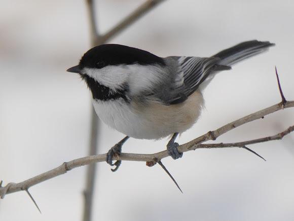 Ed Gaillard: birds &emdash; Black-Capped Chickadee, Central Park