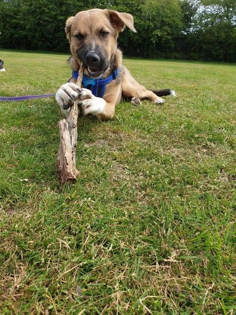 Billy – 9 month old male German Shepherd Cross