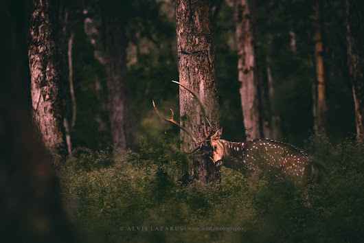 Why does Spotted Deer (Chital) Itch his Antler? - Wild Photography