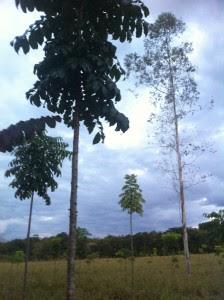 Mogno Brasileiro com 5 metros. A direita, um eucalipto antigo que temos como referência de altura. Ele tem uns 12 metros.