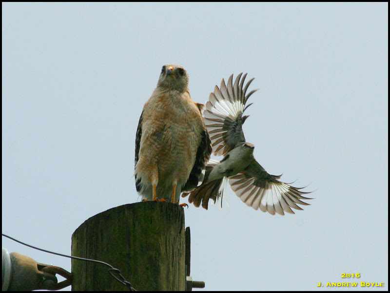 Red-shouldered Hawk, Northern Mockingbird