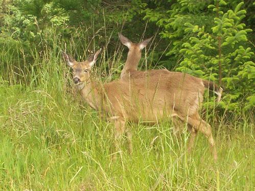 Deer roam neighborhood freely