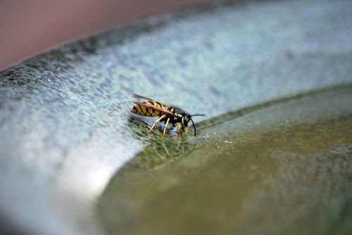 Wasp Drinking