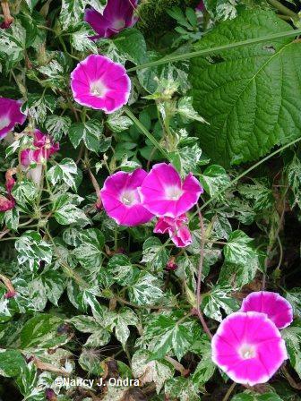 http://www.gardeninggonewild.com/wp-content/uploads/2008/03/ipomoea-cameo-elegance-sept-9-05.jpg