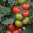 RHS New plants blog: World's first 100% blight resistant tomato / RHS Gardening