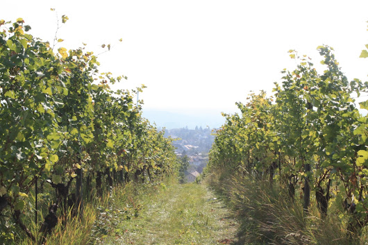 Vienna's Vineyards