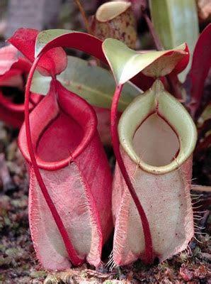 tumbuhan langka  indonesia  tumbuhan langka