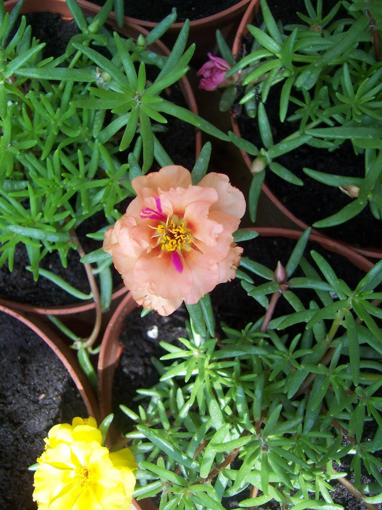 Fleurs : Pourpier de mon jardin