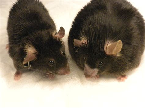 Saltiel lab: Old drug may point the way to new treatments for diabetes and obesity   Life
