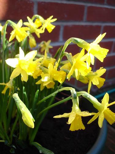 spring bulbs 2010 (1)