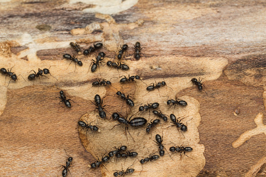 Signs That You Have Carpenter Ants in Your Home - Buzzkill Pest Control